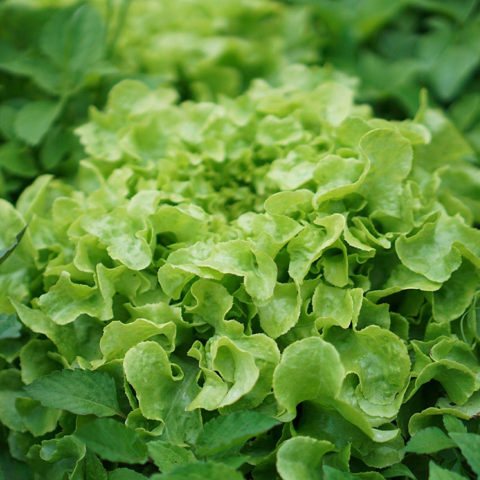 Busch 1213 HO Cabbage /& Lettuce vegetables sealed pack suit OO